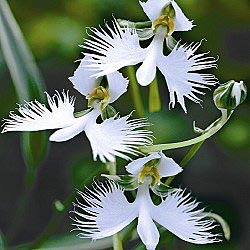 Egret Flower - Orchid like blooms that resemble small birds