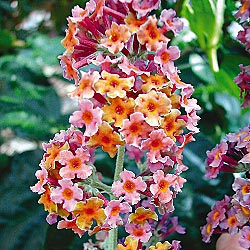Rainbow Butterfly Bush